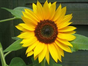 common-sunflower-09